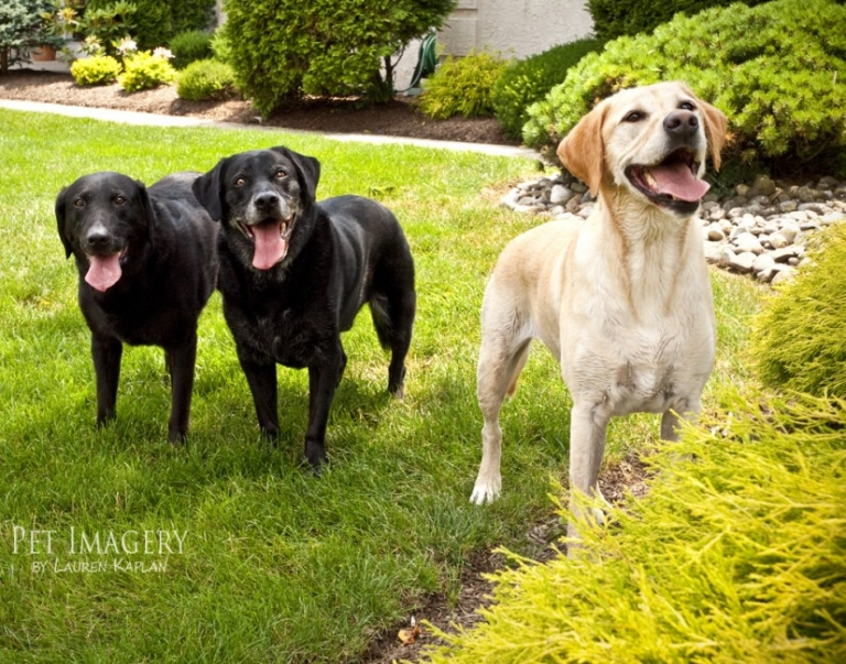 black and yellow lab photo session, Philadelphia, PA 00