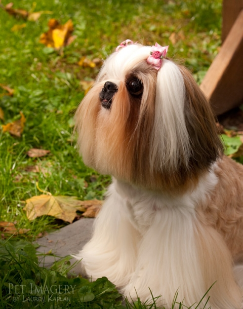 shih-tzu long haired cats willow grove