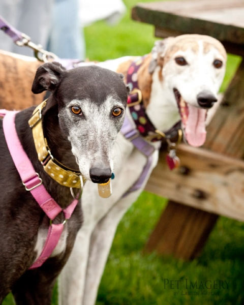 greyhounds CAS tail waggers strut 2011