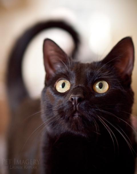 short haired cat philadelphia pa