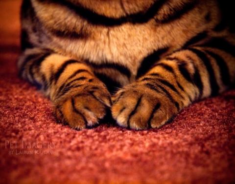 bengal cats philadelphia pa cat paws