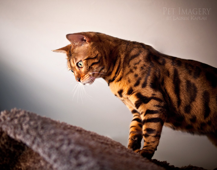 New Pet Photography: MayLea and Bernie, Snow Bengal and ...