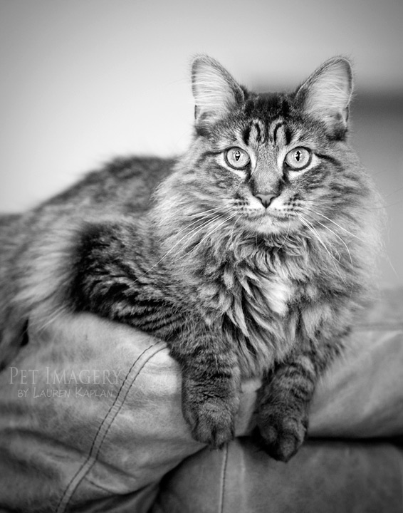 long haired cat pet imagery kaplan black and white