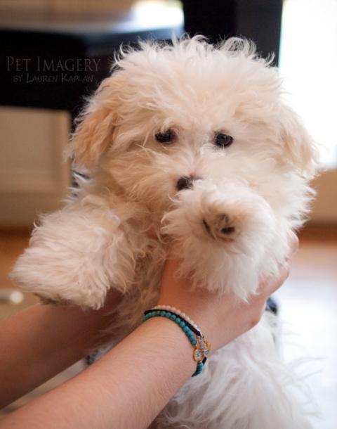 puppy malti poo pet imagery kaplan