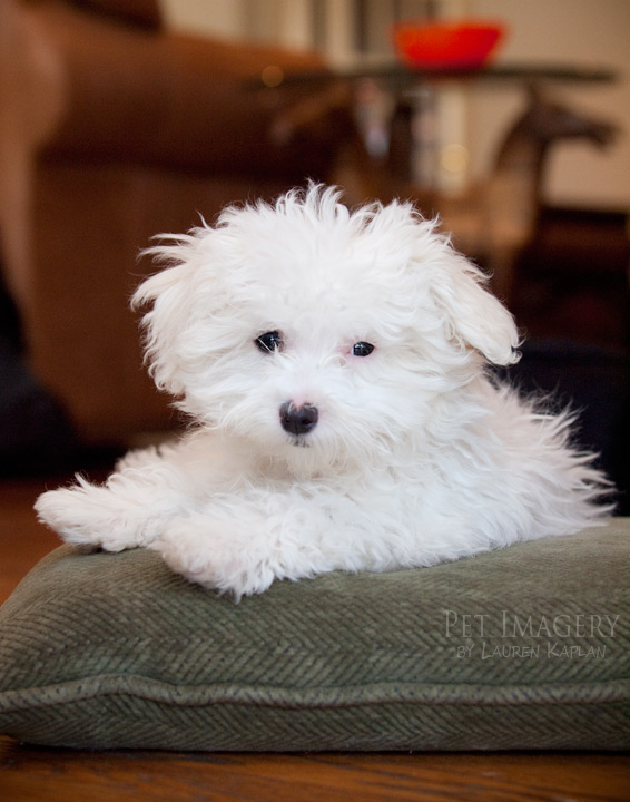 malti poo mix pet imagery kaplan