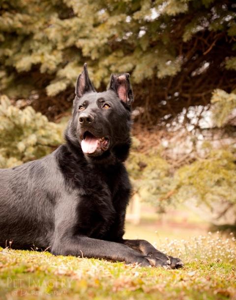 black german shephard pottstown pa pet photography kaplan