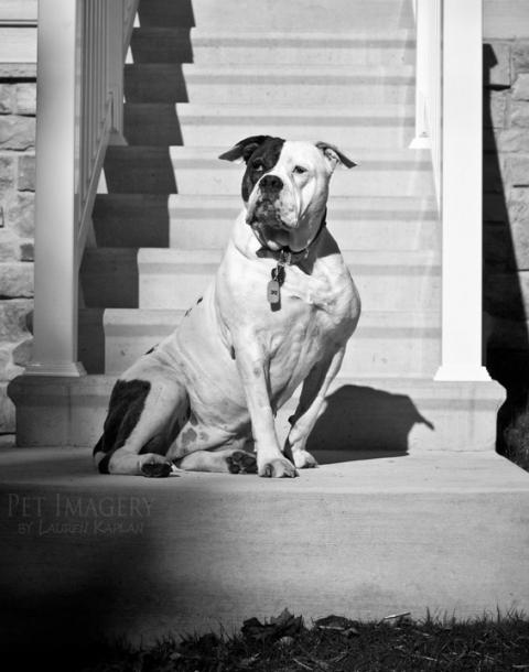 bulldog best pet photography pet imagery kaplan