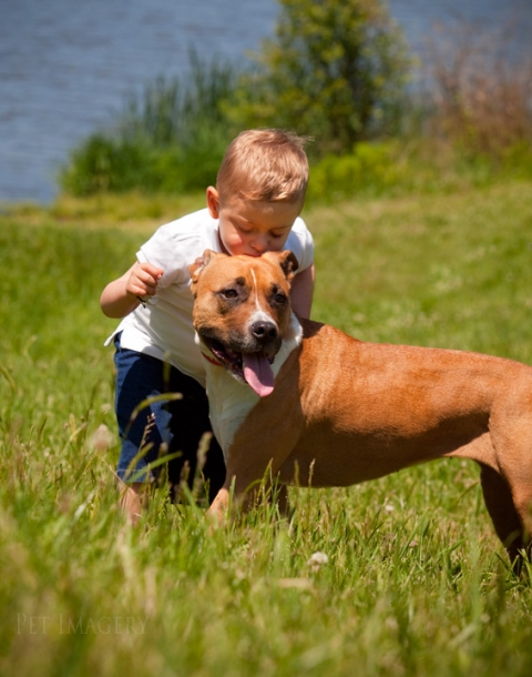 american staffordshire terrier pet photo kaplan