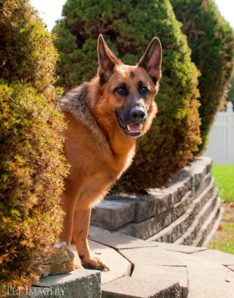 german shepherd kaplan pet photography