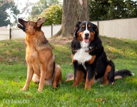 bernese montain dog, german shepherd pet imagery philadelphia