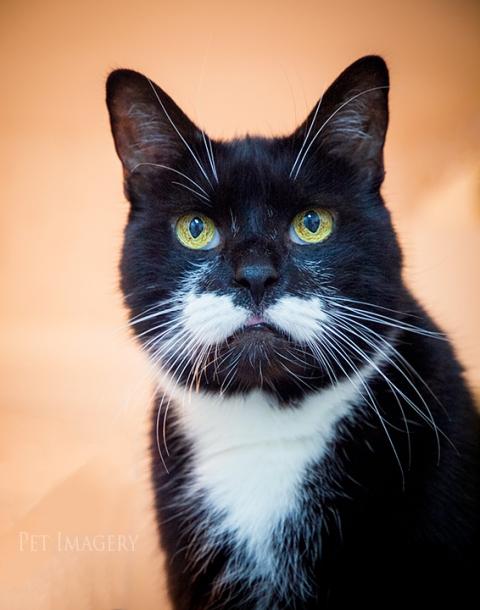 tuxedo cat, best pet photography, kaplan