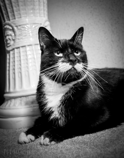 tuxedo cat best pet photography kaplan pa