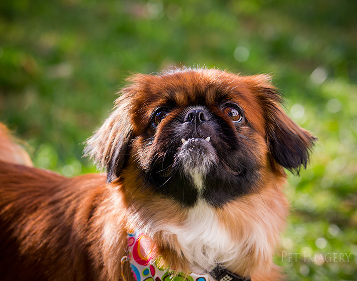 New Pet Preview: Bella, Pekingese/Shih-tzu Mix; Philadelphia, PA ...