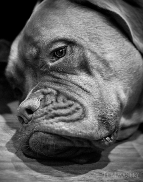 french mastiff kaplan best pet photography pa