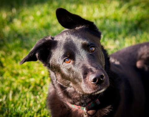 black lab mix pa best pet photography kaplan