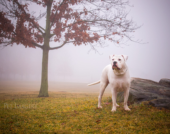 american bulldog best pet photography de kaplan