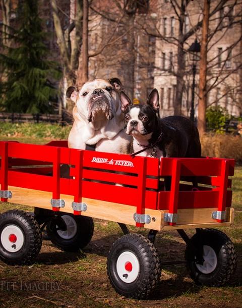 bulldog boston terrier best pet photography kaplan