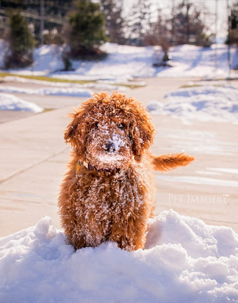 goldendoodle best pet photography kaplan pa