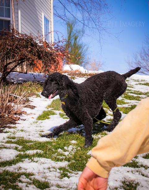 poodle, best pet photography, pa, kaplan, dog