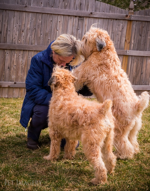 soft coated wheaten terrier kaplan best pet photography