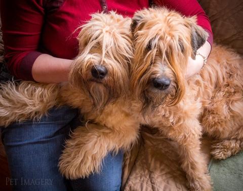 soft coated wheaten terrier kaplan best pet photography