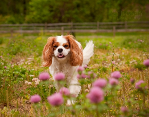 pet imagery king charles
