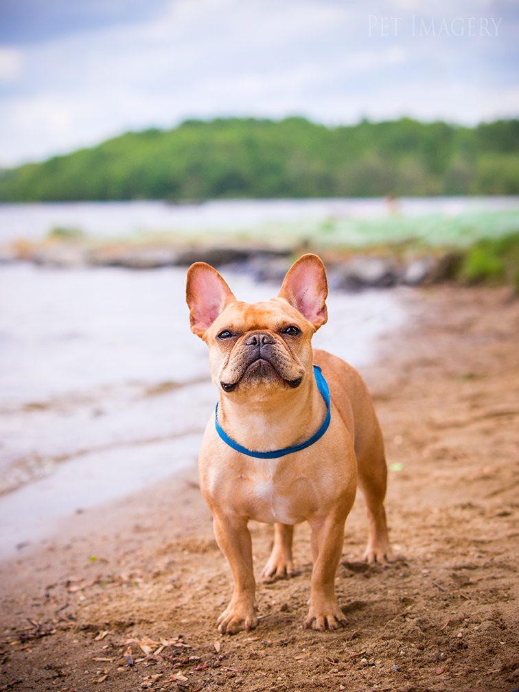 pet photography french bulldog pa kaplan