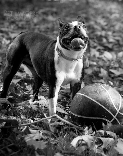 boston terrier basketball backyard