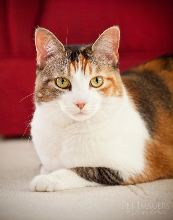 calico cat best pet photography kaplan