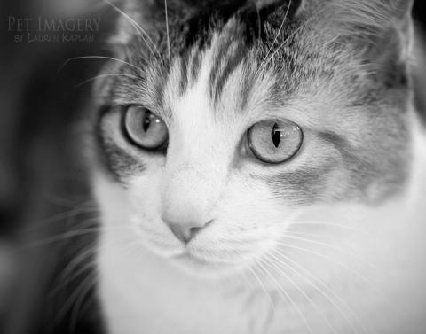 calico cat phila pet photography kaplan