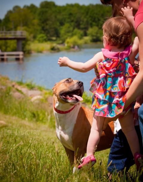 American Staffordshire Terrier pet imagery kaplan best