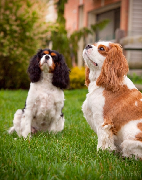 king charles cavalier spaniels kaplan best pet photography nj