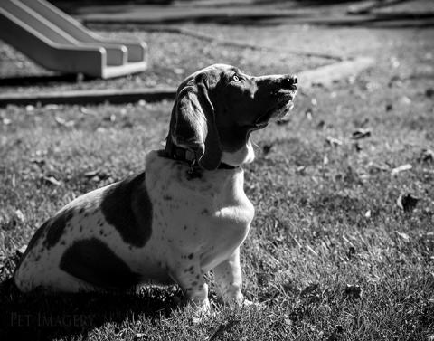 basset best philadelphia pet photography kaplan