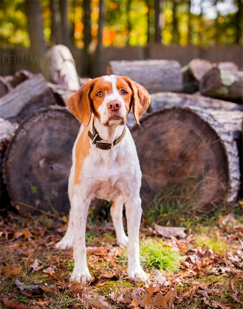 brittany spaniel, pet imagery, best pet photography, kaplan