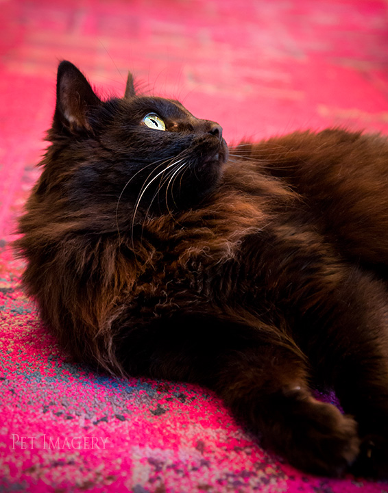 long-haired cat best pet photography kaplan