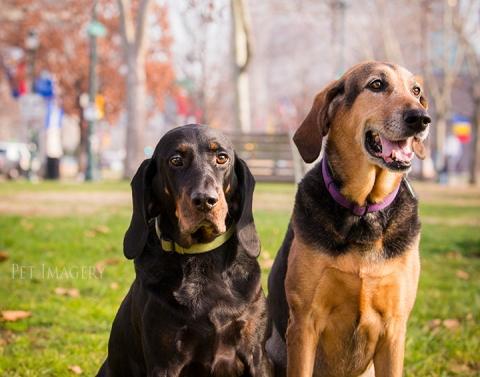 coonhound-pet-photography-kaplan