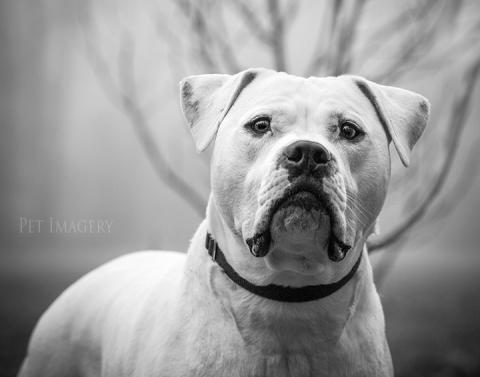 bulldog pet photography kaplan de