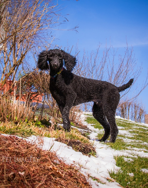 standard poodle best pet photography kaplan pa