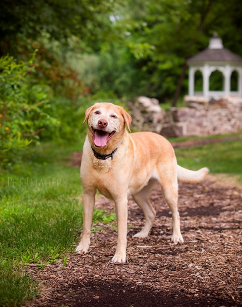 yellow lab photo session kaplan