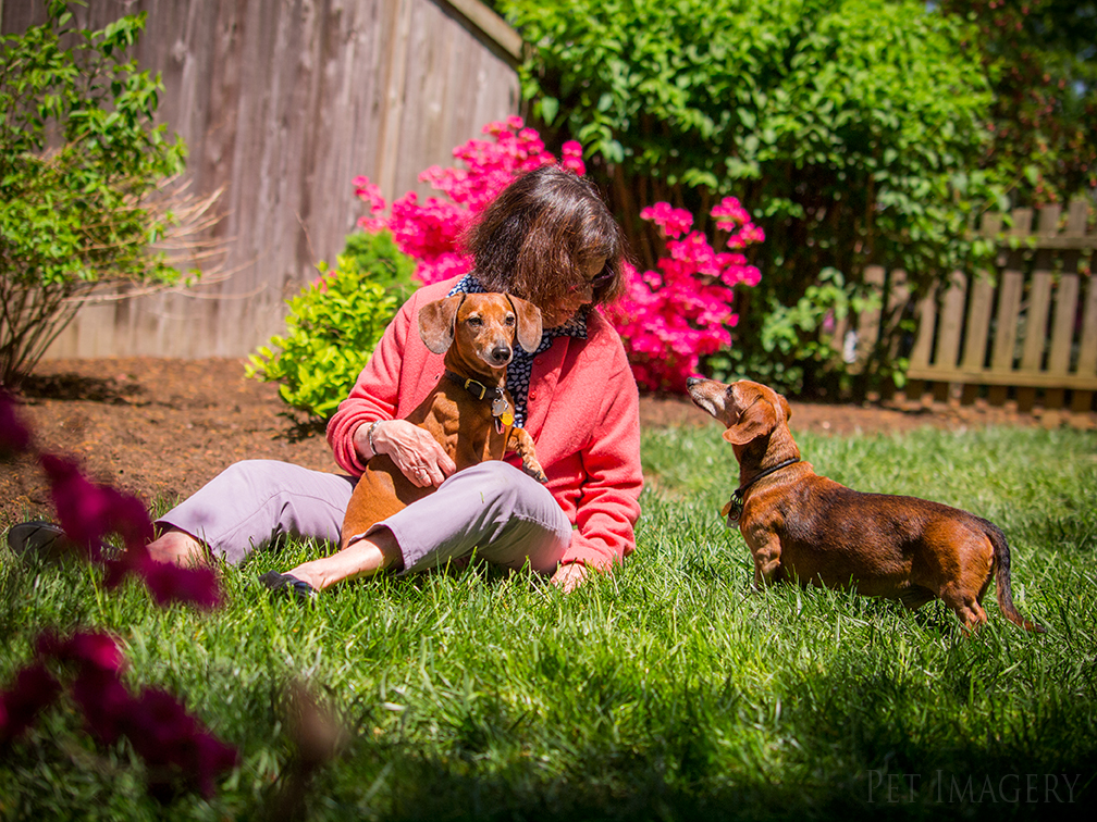 pet dogs photography dachshund