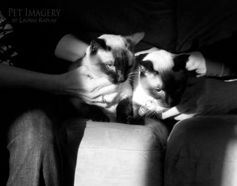 siamese cats haverford pa
