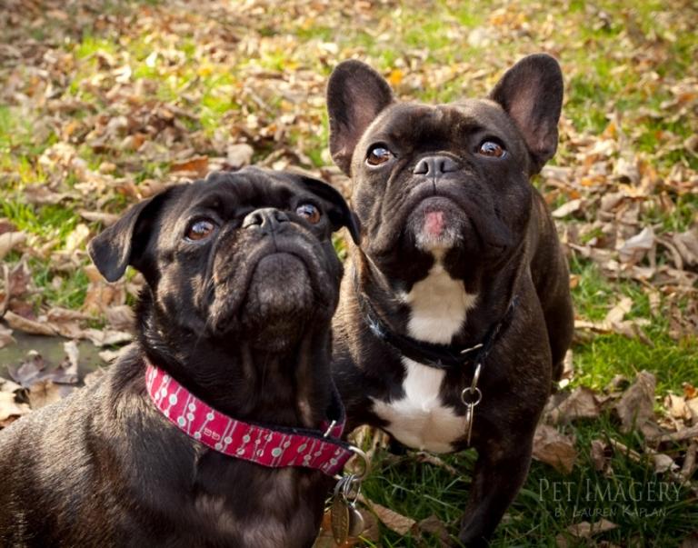pug-french bulldog-philadelphia