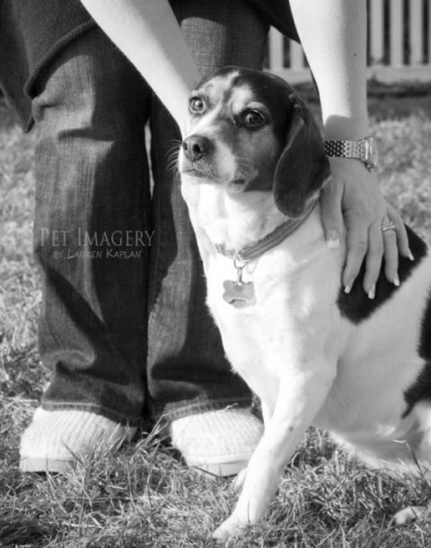 long-haired chihuahua and beagle, Gilbertsville, PA