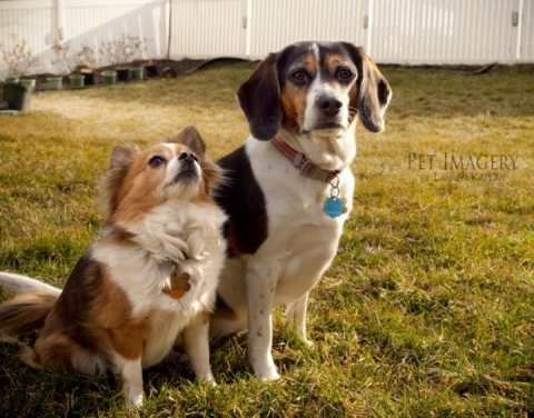 long-haired chihuahua and beagle, Gilbertsville, PA 5