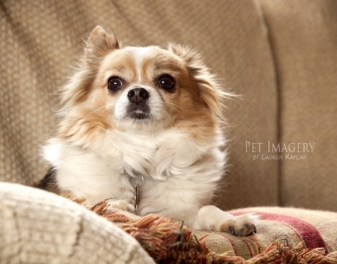 long-haired chihuahua and beagle, Gilbertsville, PA 11