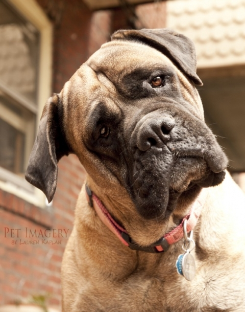 bull mastiffs pet photography, Philadelphia, PA