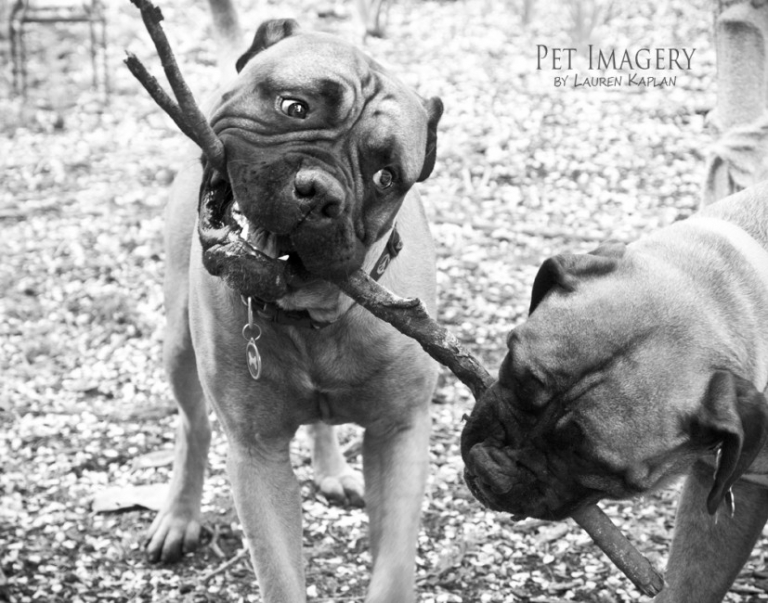bull mastiffs pet photography, Philadelphia, PA 2