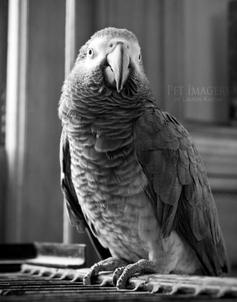African Grey parrot, Philadelphia, PA