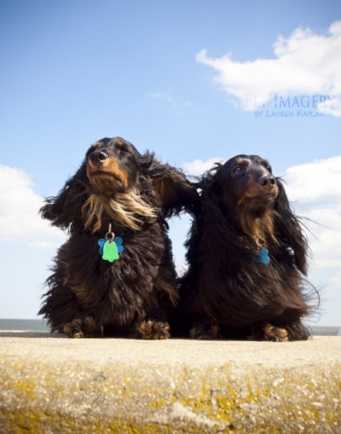 Long-Haired Daschunds, pet photography in Longport, NJ 8