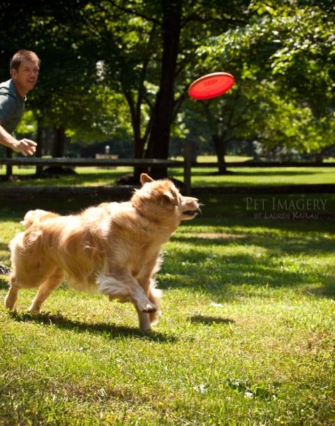 golden-retriever-pa-backyard-frisbee